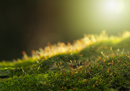 Closeup low angle view of Pohlia moss (Pohlia nutans) on forest floor, flare lighting effect