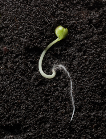 Macro sectional view of cabbage growing seed with first leaves underground