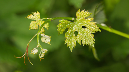 Macro of fresh leaves and leaf tendrils on vine twig at spring