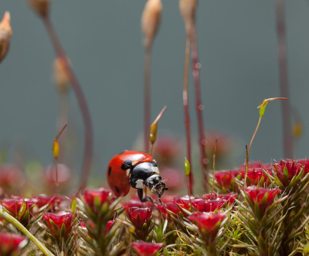 En face of seven-spotted ladybird on mossy forest floor with blooming Haircap moss (Polytrichum piliferum)