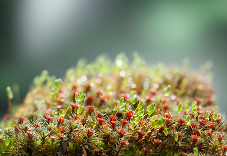 Macro of pohlia and blooming haircap moss (Pohlia nutans and Polytrichum commune) with red sporophytes and green spore capsules