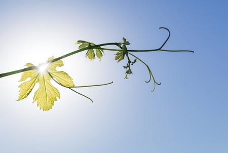 Ramoscello di vite in crescita su sfondo blu cielo in primavera, retroilluminato dal sole mattutino