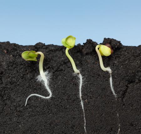 Macro van drie groeiende koolzaden (Brassica) met eerste wortels en bladeren, zijaanzicht in de bodem, over blauwe hemelachtergrond Stockfoto