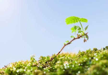 Gros plan du mûrier (Rubus sp.) pousse épineuse avec des feuilles fraîches poussant dans la mousse au printemps ensoleillé, effet lens flare