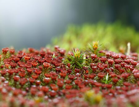 Macro of red sporophytes of juniper haircap moss (Polytrichum commune)
