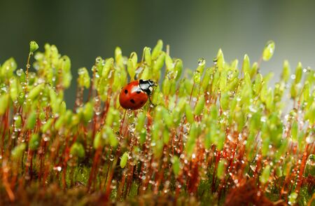 Pohlia nutans moss with red sporophytes stalks and seven-spotted ladybug after the rain