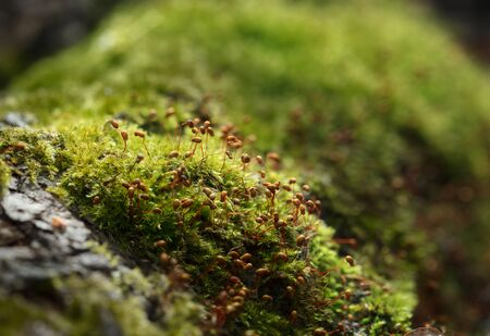 Macro low angle view of Pohlia moss (Pohlia nutans) on hummock on forest floor