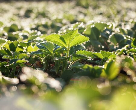 Closeup of strawberry plants on field with bright water drops on leaves, selective focus