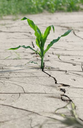 Closeup of corn plant growing on cracked drought infertile soil, area of risk farming concept