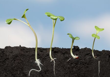 Macro side cut view of four cabbage (Brassica) seedling in soil, horizontal in field shot over cloudy sky background