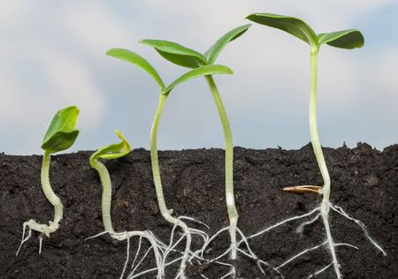 Cutaway view in soil of five cucumber seedlings (Cucumis sativus), growing roots under ground, over cloudy sky background Stockfoto