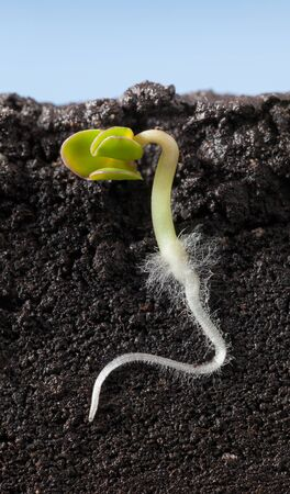 Sectional view in soil over blue sky background of kale  (Brassica) sprout with first roots, fibrils and leaves.