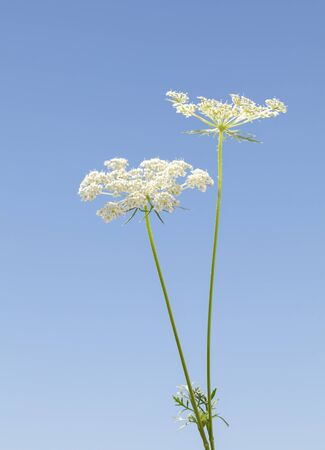 White inflorescence flowers of Wild Carrot (Daucus carota) common umbellifer flower over blue sky background, vertical