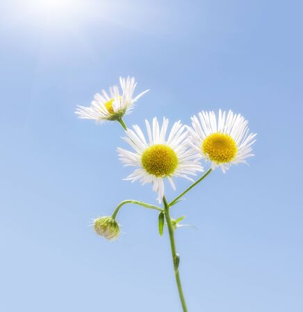 Eastern daisy or fleabane (Erigeron annuus) in hot sunny day in summer over blue sky background