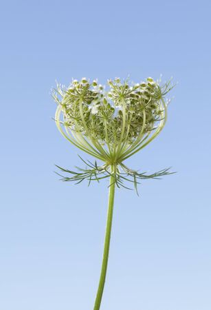 Umbrellate inflorescence flower head (Daucus carota) with green seeds over blue sky background