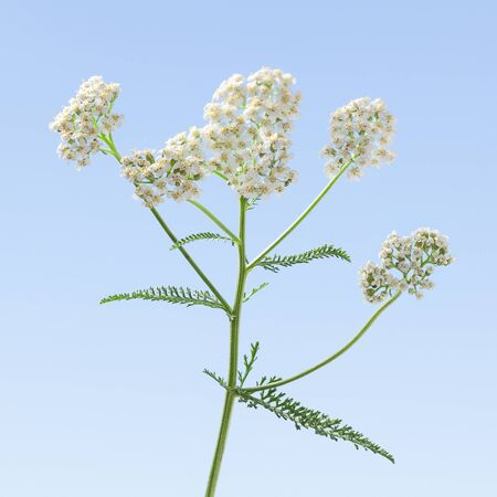 Macro of white flowers of Achillea millefolium or yarrow, milfoil over blue sky background in spring Stock fotó