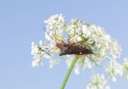 Macro low angle side view of forest bug (Pentatoma rufipes) under white flower of birds nest over blue sky background