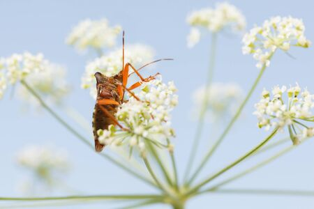 Macro of forest bug (Pentatoma rufipes) on blooming wild carrot flower over blue sky background