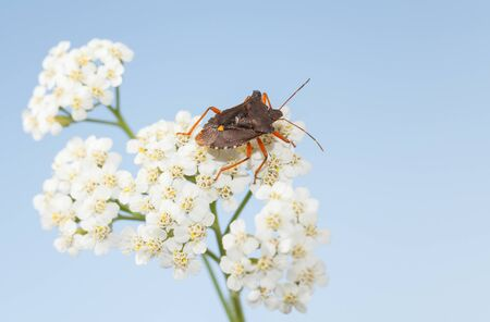 Macro of forest bug (Pentatoma rufipes) on blooming yarrow white inflorescence over blue sky background Stock fotó