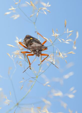 Macro of forest bug (Pentatoma rufipes) on dry wild grass over blue sky background