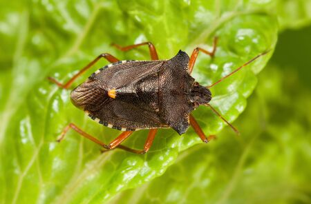View from above of forest bug (Pentatoma rufipes) on green lettuce leaf in garden
