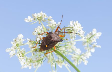 Macro of forest bug (Pentatoma rufipes) on blooming wild carrot white inflorescence over blue sky background Stock fotó