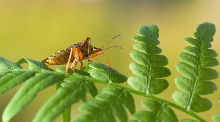 Macro side view of forest bug (Pentatoma rufipes) on green fern over forest background in summer
