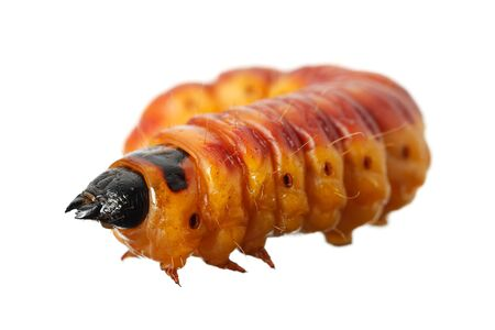 Large orange Goat moth caterpillar (Cossus cossus) side view, isolated on white background
