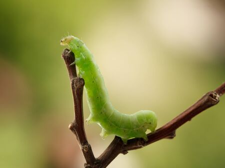 Macro side view of green caterpillar crawls on twig fork over spring garden background