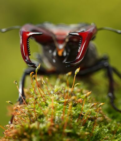 Macro low point front view of stag beetle (Lucanus cervus) with big red mandibles