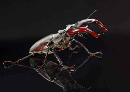 Low point, side view of stag beetle Lucanus cervus in  fighting pose over black background