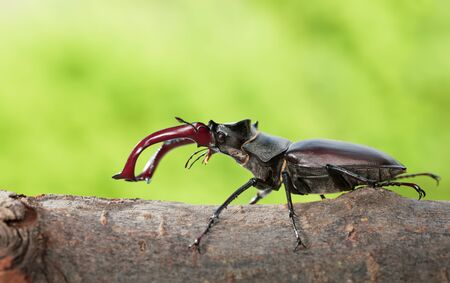 Macro side view of whole giant stag beetle (Lucanus cervus) standing on tree brunch over green forest background