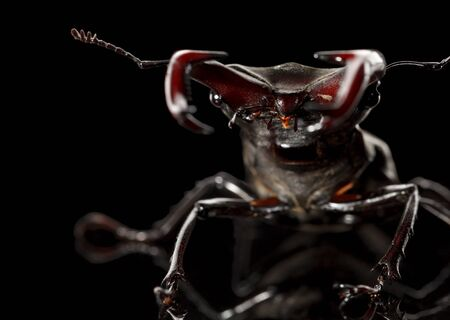 Low point, frontf view of stag beetle Lucanus cervus in  fighting pose over black background