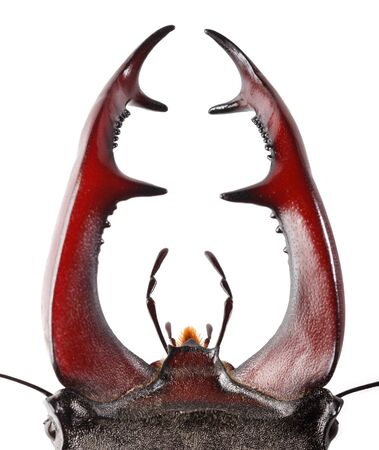 Macro of Stag Beetle (Lucanus cervus) big red antlers or mandibles isolated over white background
