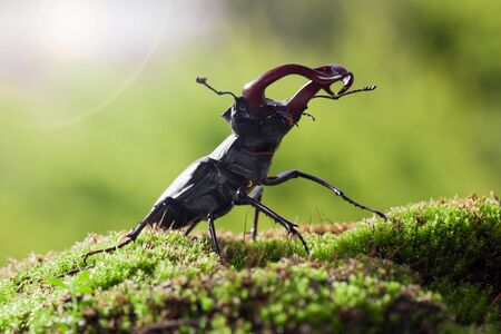 Macro of big stag beetle (Lucanus cervus) on mossy forest floor in attack pose, backlight by summer sun