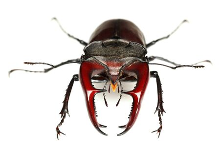 Macro full length, front view of big Stag Beetle (Lucanus cervus) with red antlers or mandibles isolated over white Stock fotó