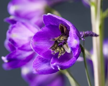 Side view of violet-blue delphinium flower (Ranunculaceae) at spring