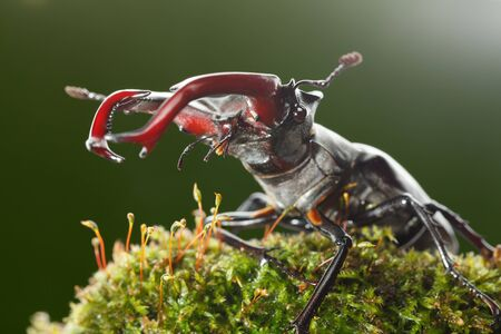 Macro from below view of stag beetle (Lucanus cervus) with big red horns (mandibles) on moss over dark background Stock fotó