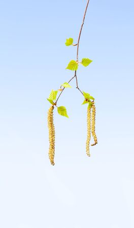 Macro of fresh yellow catkins on birch (Betula sp.) tree twig over blue sky background in spring Stock fotó
