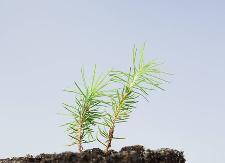 Macro of two growing tiny pine tree (Pinus) sprouts over blue sky background Stock fotó