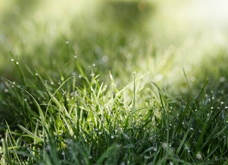 Closeup of grass on lawn with dew drops selectively lightened by early morning sun