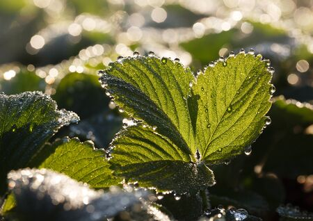 Dew drops on strawberry leaves backlit by sun at summer sunny morning