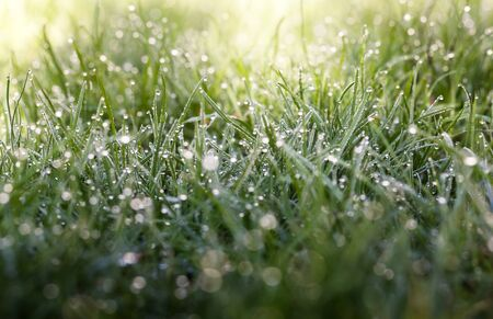 Closeup of grass on lawn with dew drops lightened by early morning sun