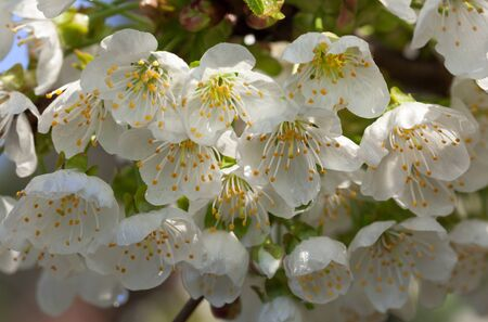 Macro of fruit-tree white flowers bunch at spring