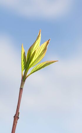 Macro of first spring leaves at tree twig over sky background, backlit by bright sun
