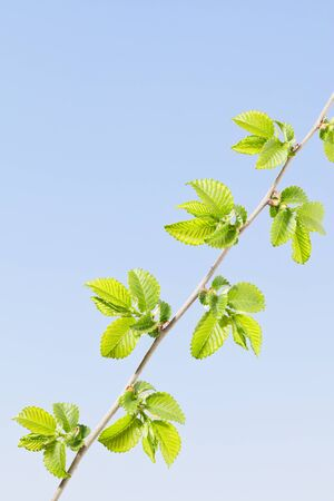 Closeup of first spring leaves at tree twig over blue sky background, copy space