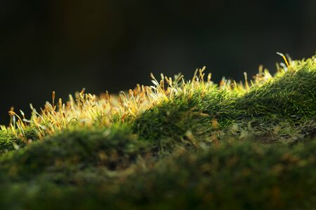 Macro of Pohlia moss (Pohlia nutans) knoll over dark forest background, backlit