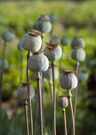 Closeup of ripe poppy heads (Papaver sp.) over green field