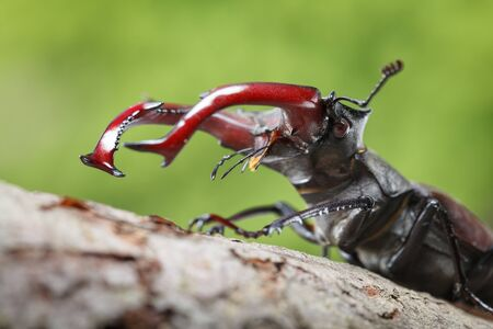 Low point of view on stag beetle (Lucanus cervus) head and big red mandibles   Stock fotó