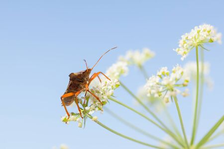 Low angle side view of forest bug (Pentatoma rufipes) on white flower of bird's nest over blue sky background